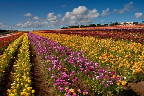 carlsbad flower fields in full bloom